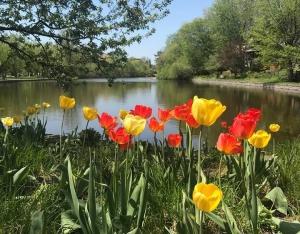Tulip Fest, Ottawa
